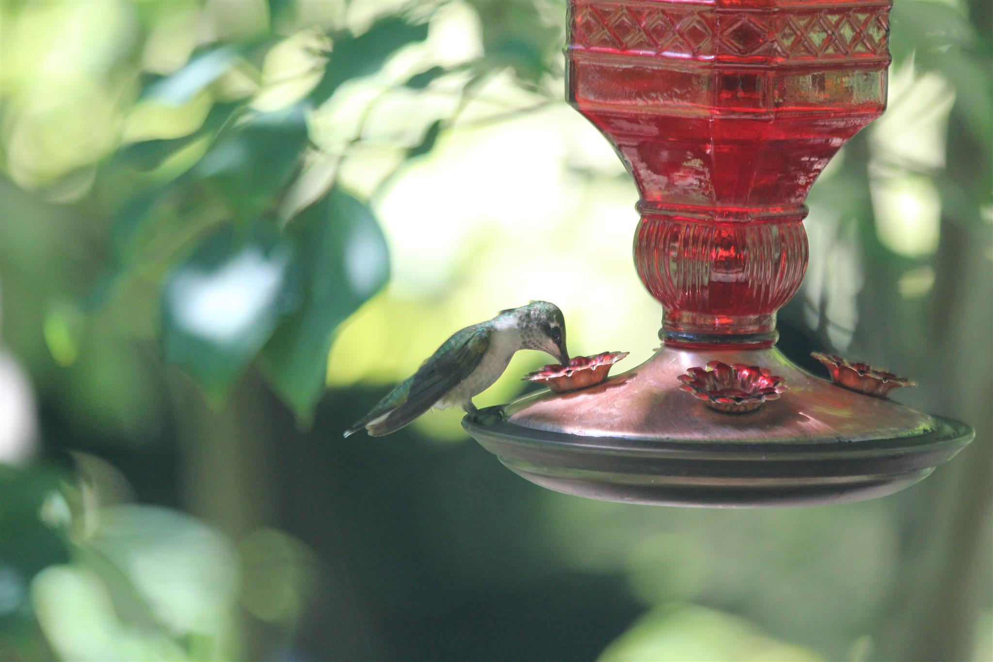 Hummingbird perched at rest on hummingbird feeder