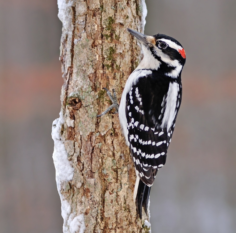 Hairy Woodpeckers eat mosquitoes