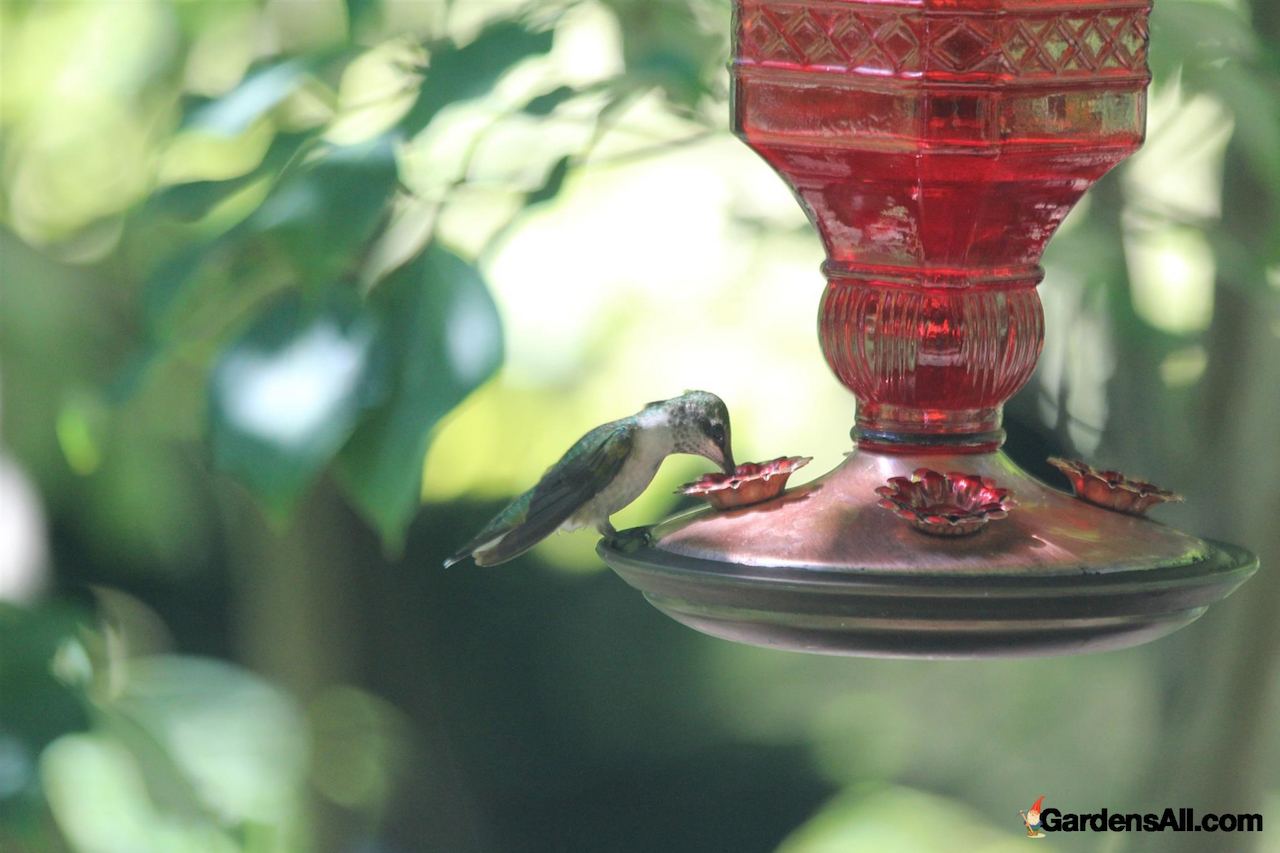 Hummingbird perched at rest on hummingbird feeder in our garden at GardensAll.com. #RubyThroatedFemaleHummingbird #HummingbirdDrinkingNectar #HummingbirdAtFeeder #BestHummingBirdFeeders #Hummingbirds #HummingbirdsFood #NaturalGardenPestControl #PestControl