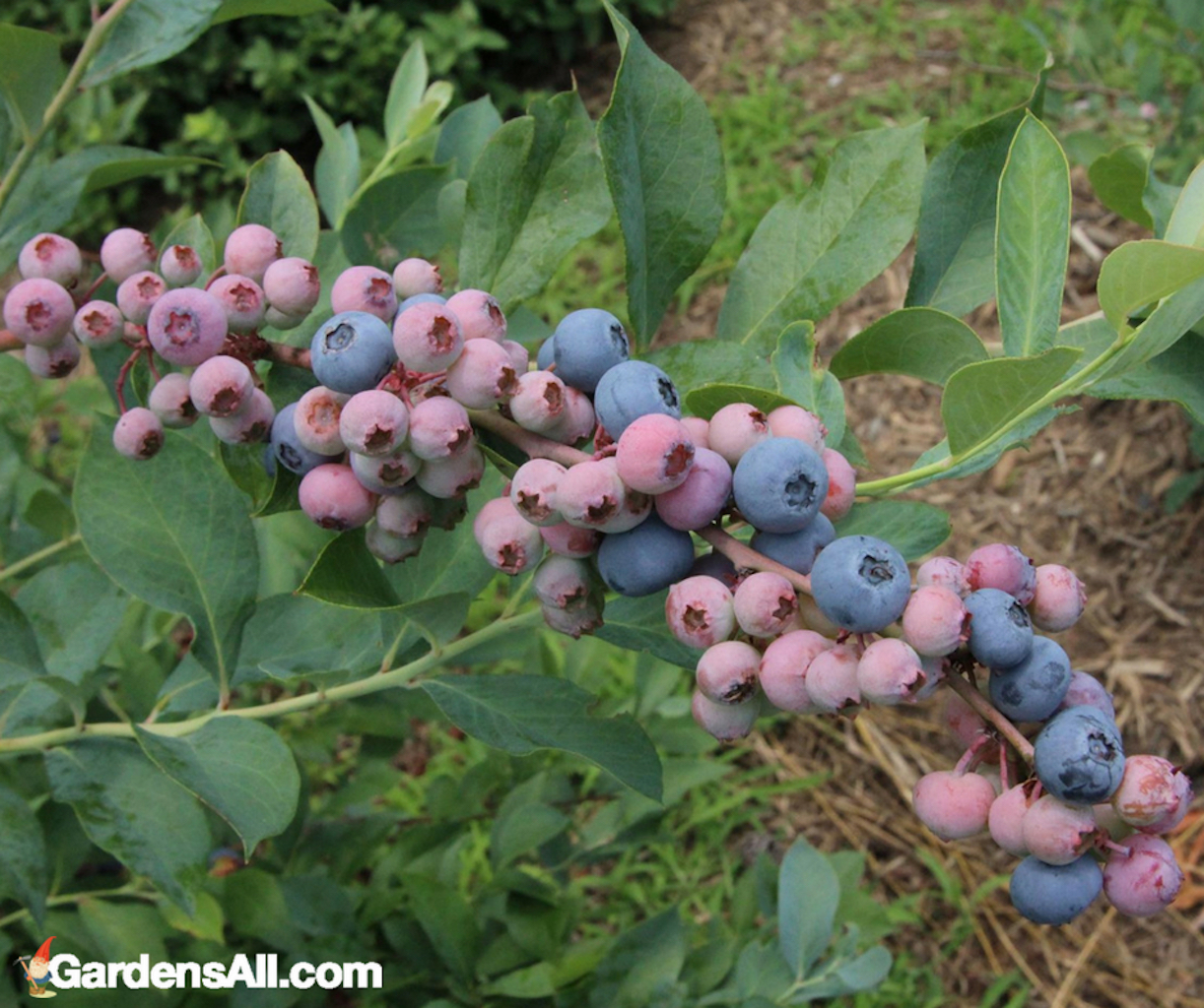 edible landscaping, blueberries