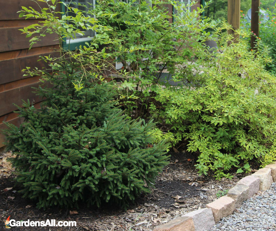 blueberry bush, edible landscaping