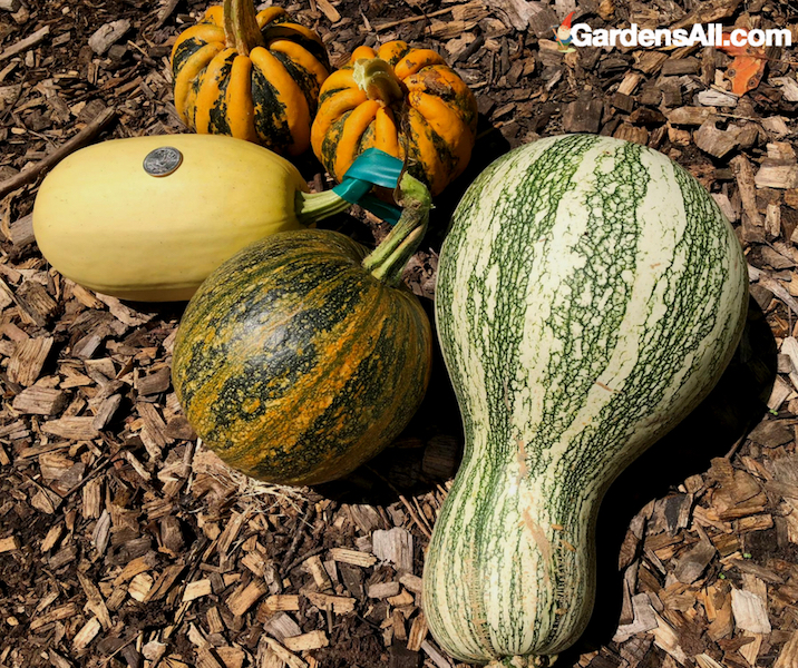 fall squash, winter squash
