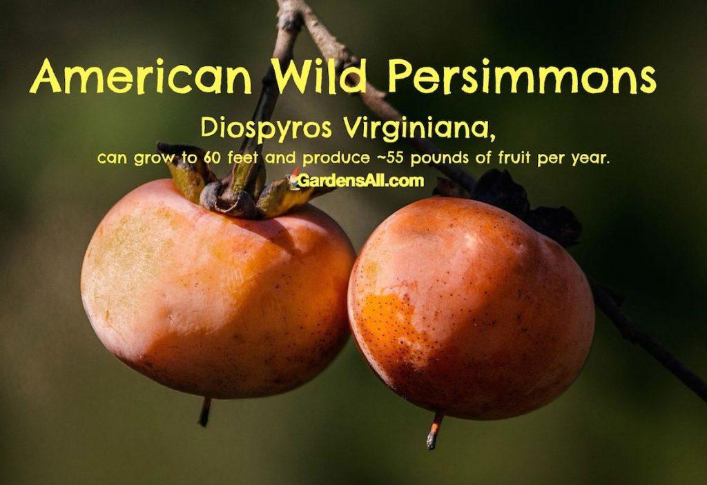 American Wild Persimmons-diospyros #WildPersimmons #AmericanPersimmons #DiospyrosViginiana #GardensAll