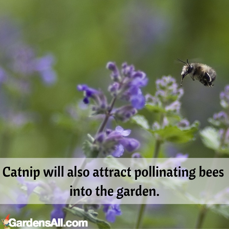 As a landscaping plant, catnip's hoary, gray green foliage and dense, clumping growth habit make #flower #flowergarden #Porches #Landscapes #CountryLiving #CurbAppeal #Simple #Perennials #Shade #Ideas #Planters #Small #Entrance #Walkways #ColorCombos #DIY #Spring #Balconies #OrnamentalGrasses #Backyards #Outdoors #Shrubs #Tips #Spaces