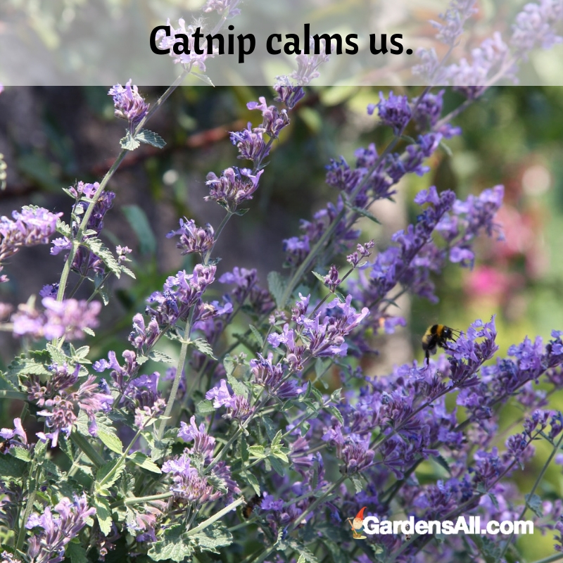 Are you seeing the trend here? Catnip calms us. It helps to soothe our anxious thoughts and smooth over #Vegetable #Ideas #Raised #Flower #Design #Container #Backyard #Tips #Herb #Landscaping #InPots #Indoor #Rose #Organic #Shade #Boxes #Urban #Pallet #Planters #Outdoor