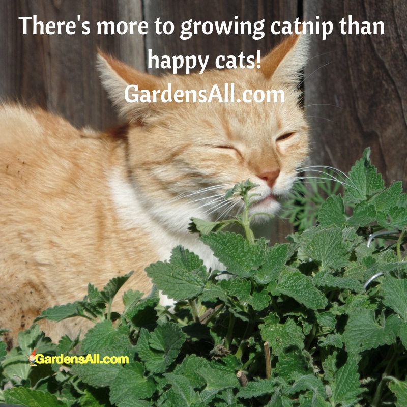 """""""Catnip, Nepeta cataria, is a delightful, soothing and medicinally beneficial herb for humans too! So if you're thinking about growing catnip—or perhaps you already are—there's more benefit than happy cats!"""" #catnip #leaf #uses #benefits #growing #tea #herb #diy #planter #recipes #ideas #effects #leaves #indoors #mosquitorepellent #botanical #home #catson #pot #reaction #facts #gardening #care #yards #pets #tips #insects #natural #howtomake #kittens"""
