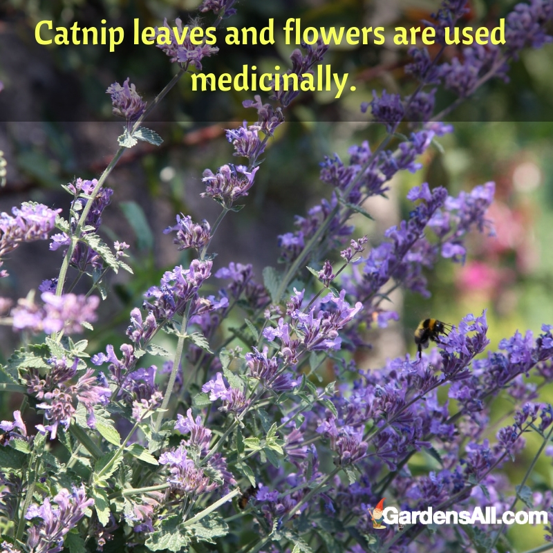 Like most herbaceous plants, you can harvest clippings from catnip as needed to control its growth. #flower #flowergarden #Porches #Landscapes #CountryLiving #CurbAppeal #Simple #Perennials #Shade #Ideas #Planters #Small #Entrance #Walkways #ColorCombos #DIY #Spring #Balconies #OrnamentalGrasses #Backyards #Outdoors #Shrubs #Tips #Spaces