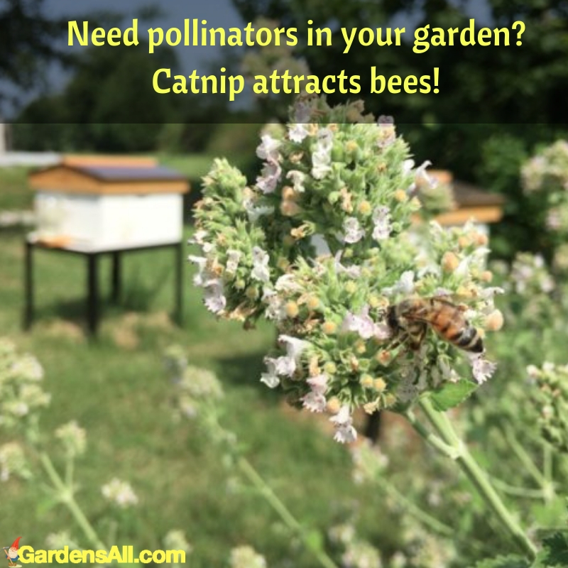 Catnip originates from Europe and Asia and was brought the North America by European settlers to use as a food and #flower #flowergarden #Porches #Landscapes #CountryLiving #CurbAppeal #Simple #Perennials #Shade #Ideas #Planters #Small #Entrance #Walkways #ColorCombos #DIY #Spring #Balconies #OrnamentalGrasses #Backyards #Outdoors #Shrubs #Tips #Spaces