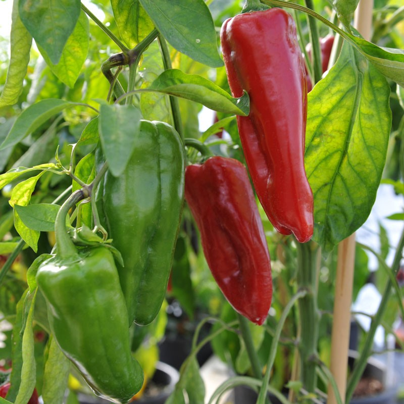 marconi peppers, red marconi peppers, green marconi peppers