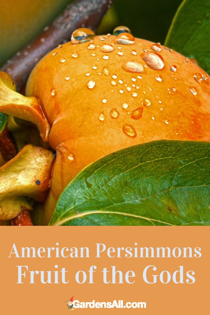 The native American persimmon tree (diospyros virginiana), grows wild from southern Connecticut to Florida, and as far west as Kansas and Iowa. We have wild American persimmons growing on our property, and are eagerly anticipating the fall harvest! #Growing #SelfPollinating #Landscaping #Orchard #Dwarf #Planting #Pruning #Garden #InContainers #Grafting #Planters #Fruittrees #wintergarden #summergarden #fallargen #springgarden #verticalgarden #gardentips #DIY