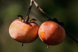 Wild American Persimmons