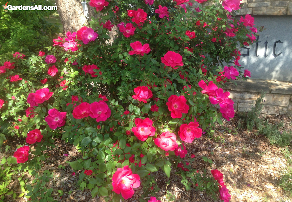Those of us who live in temperate zones are indeed fortunate to have more time to enjoy the late bloomers of fall. Our garden blooms have certainly diminished but those that remain are all the more appreciated. One of those is our Knockout Roses. #flower #flowergarden #Porches #Landscapes #CountryLiving #CurbAppeal #roses #Perennials #Shade #Ideas #Planters #Small #Entrance #Walkways #ColorCombos #DIY #Spring #Balconies #OrnamentalGrasses #Backyards #Outdoors #Shrubs #Tips #Spaces #Hydrangeas