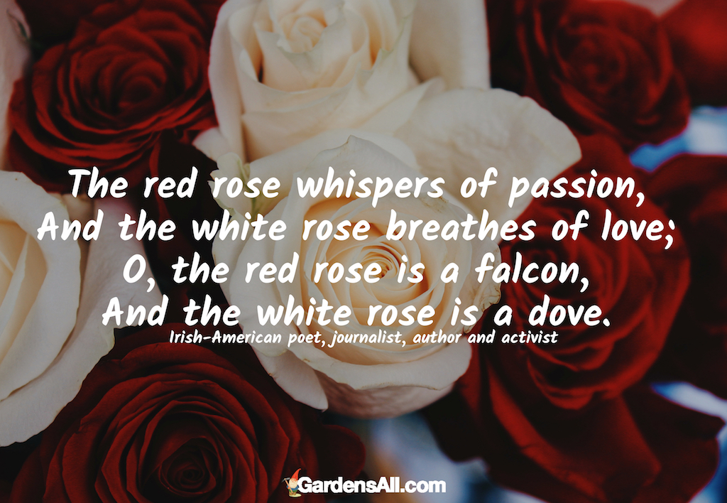 """The red rose whispers of passion, And the white rose breathes of love; O, the red rose is a falcon, And the white rose is a dove."" ~ John Boyle O'Reilly, Irish-American poet, journalist, and author #garden #red #flower #roses #fall #perennial #backyard #quotes #inspirational"