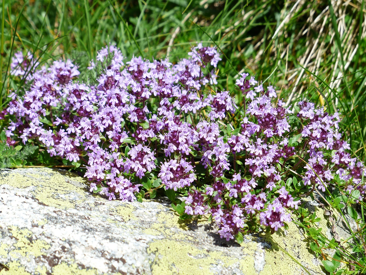 Purple thyme blossoms