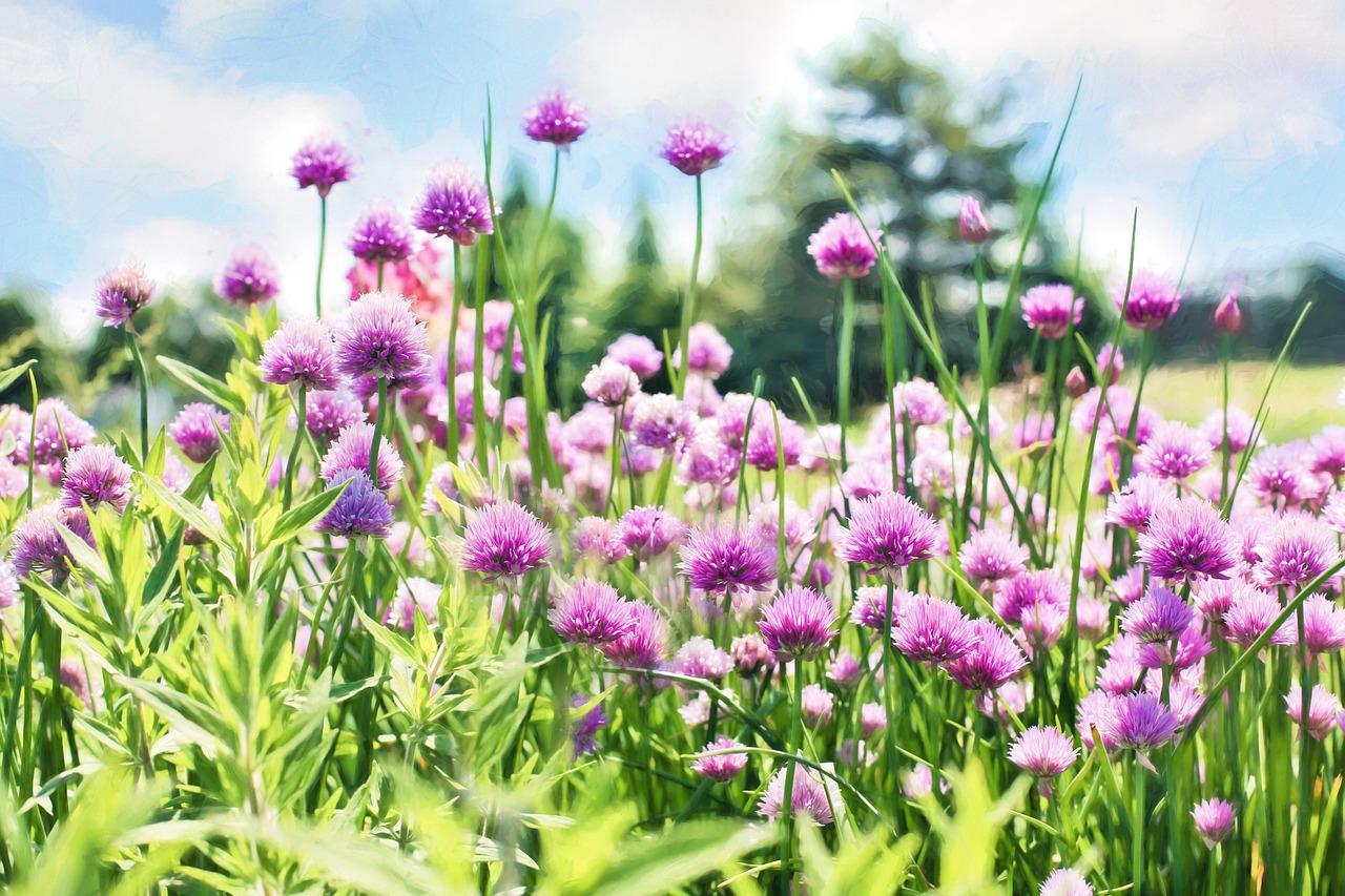 purple flowers - chives