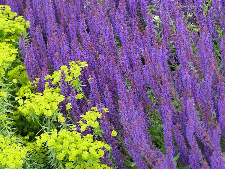 purple flowers on sage plant
