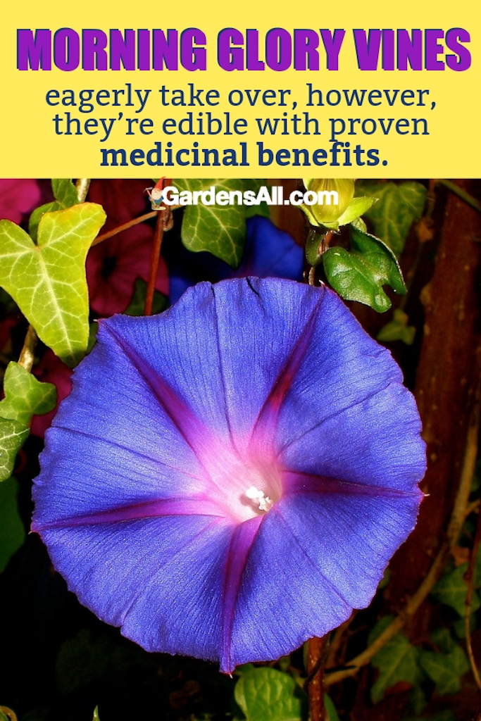Morning Glory vines eagerly take over, however, they're edible with proven medicinal benefits. #purpleflowers #landscaping #flowers #peonies #growing #garden #springgarden #Flowers #Ideas #Landscaping #Layout #Decorations #DIY #Aesthetic