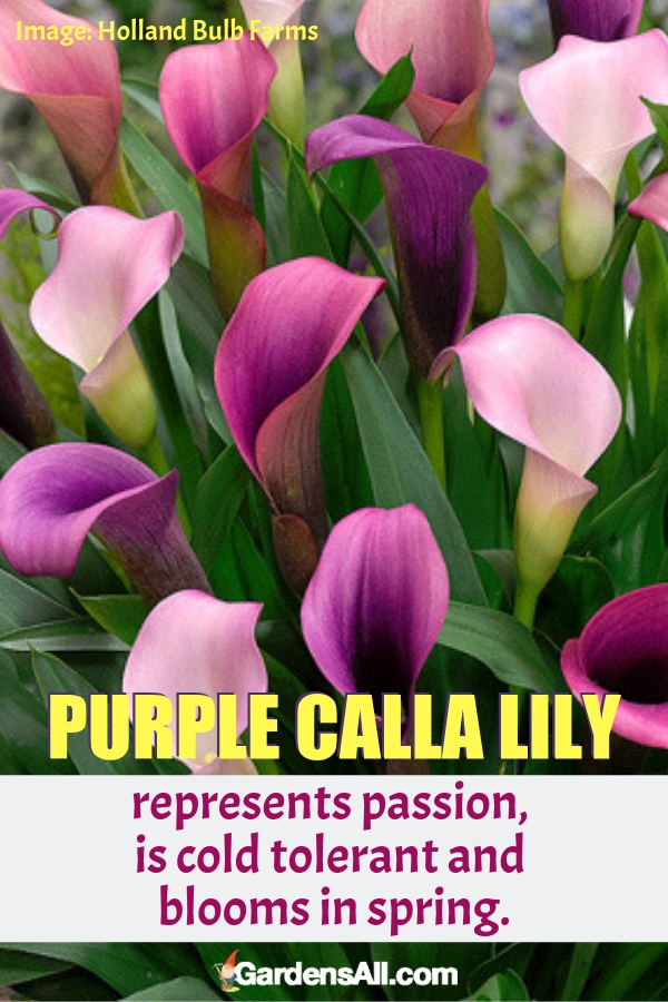 The purple calla lily represents passion, is cold tolerant and blooms in spring. #purpleflowers #landscaping #flowers #grapehyacinth #growing #garden #springgarden #Flowers #Ideas #Landscaping #Layout #Decorations #DIY #Aesthetic