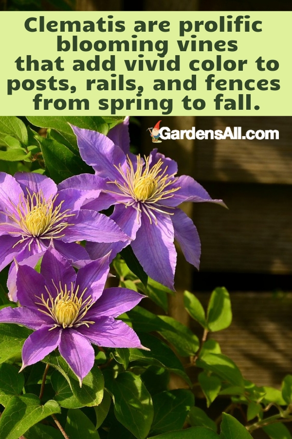 Clematis are prolific blooming vines that add vivid color to posts, rails, and fences from spring to fall, depending on the variety. #purpleflowers #landscaping #flowers #peonies #growing #garden #springgarden #Flowers #Ideas #Landscaping #Layout #Decorations #DIY #Aesthetic