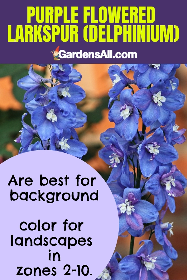Purple flowered Larkspur (Delphinium) are best for background color for landscapes in zones 2-10. #purpleflowers #landscaping #flowers #grapehyacinth #growing #garden #springgarden #Flowers #Ideas #Landscaping #Layout #Decorations #DIY #Aesthetic