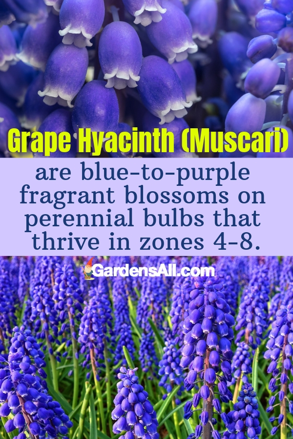 Grape Hyacinth (Muscari) are blue-to-purple fragrant blossoms on perennial bulbs that thrive in zones 4-8. #purpleflowers #landscaping #flowers #grapehyacinth #growing #garden #springgarden #Flowers #Ideas #Landscaping #Layout #Decorations #DIY #Aesthetic