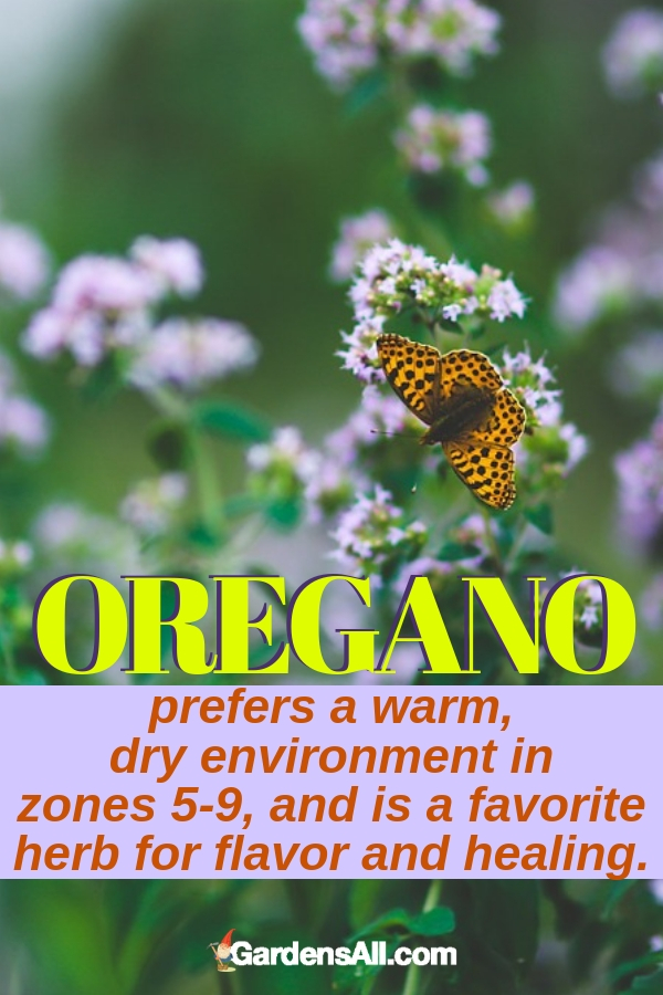 Oregano prefers a warm, dry environment in zones 5-9, and is a favorite herb for flavor and healing. #purpleflowers #landscaping #flowers #oregano #growing #garden #springgarden #Flowers #Ideas #Landscaping #Layout #Decorations #DIY #Aesthetic #cooking #herbs