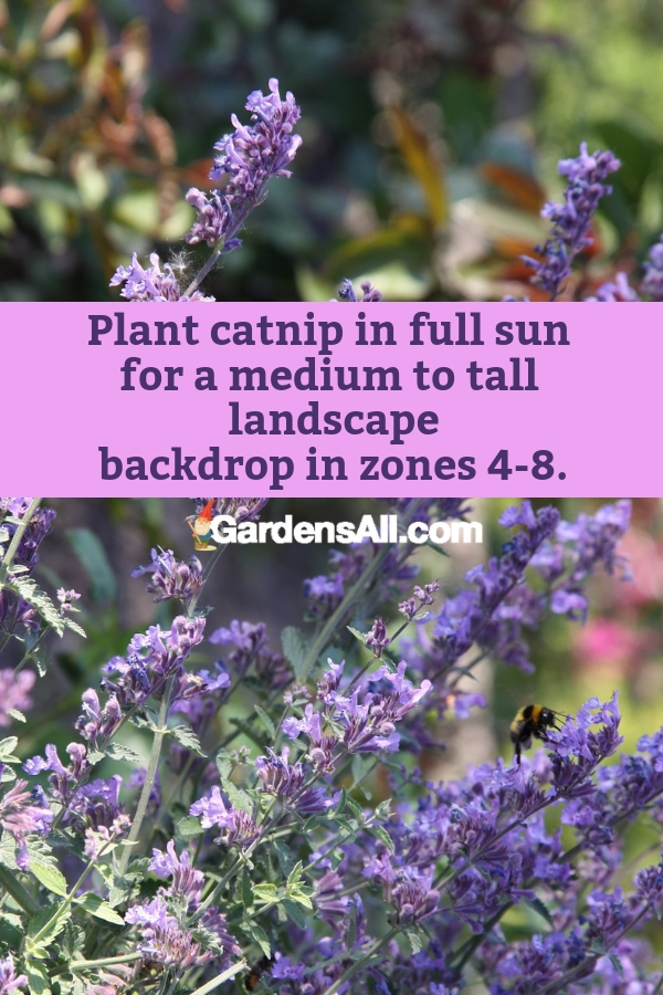 Plant catnip in full sun for a medium to tall landscape backdrop in zones 4-8. #purpleflowers #landscaping #flowers #catnip #growing #garden #springgarden #Flowers #Ideas #Landscaping #Layout #Decorations #DIY #Aesthetic