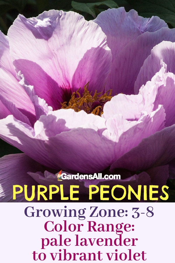Purple peonies grow in zones 3-8 and range in color from pale lavender to vibrant violet, with a scent as lovely as the flowers. #purpleflowers #landscaping #flowers #peonies #growing #garden #springgarden #Flowers #Ideas #Landscaping #Layout #Decorations #DIY #Aesthetic