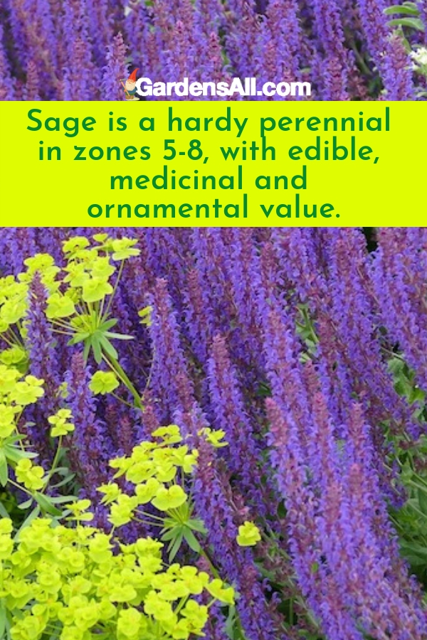 SAGE FOR BEAUTY AND BENEFITS! Herbs With Purple Flowers. The tall purple flowers on the attractive herb sage plant are reminiscent of lavender flowers and beautify any garden, landscape or herb garden. The blooms range from blue to purple in shade. A Mediterranean native, Sage is a hardy perennial in zones 5-8, with a preference toward milder climates. #PurpleFlowers #Flowers #Sage #Gardening #HerbsWithPurpleFlowers #SageFlowers #GardensAll