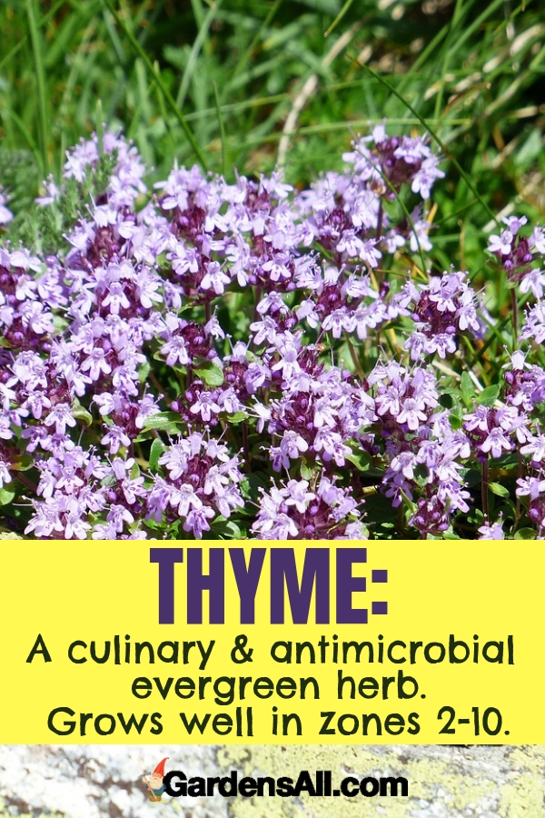 Thyme is a favorite culinary and antimicrobial evergreen herb that grows well in zones 2-10. #purpleflowers #landscaping #flowers #thyme #growing #garden #springgarden #Flowers #Ideas #Landscaping #Layout #Decorations #DIY #Aesthetic #cooking #herbs