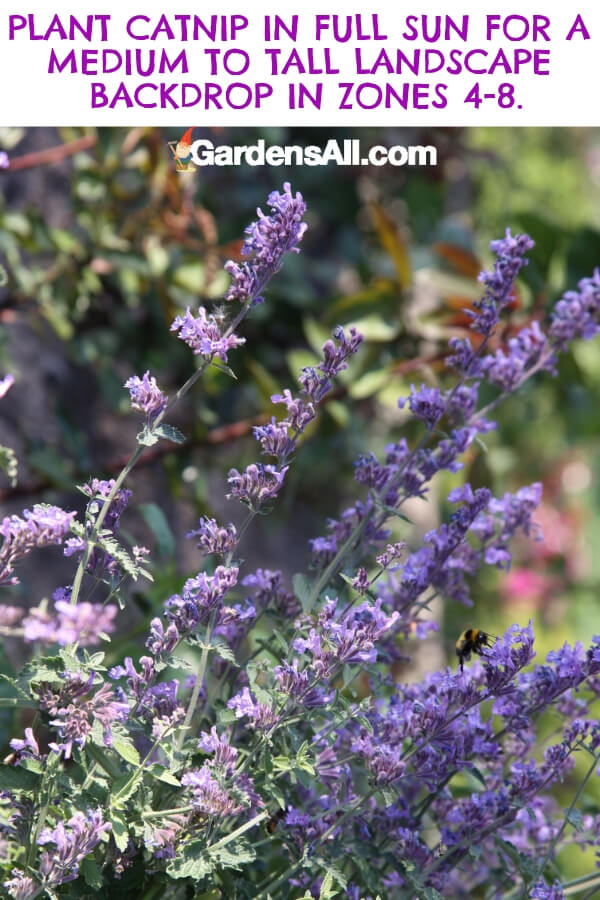 Catnip is definitely not just for cats! Plant them near your patio or deck in zones 4 - 8 because the purple and white flowers are also mosquito-repellent. #flower #flowergarden #Porches #Landscapes #CountryLiving #CurbAppeal #Simple #Perennials #Shade #Ideas #Planters #Small #Entrance #Walkways #ColorCombos #DIY #Spring #Balconies #OrnamentalGrasses #Backyards #Outdoors #Shrubs #Tips #Spaces #Hydrangeas