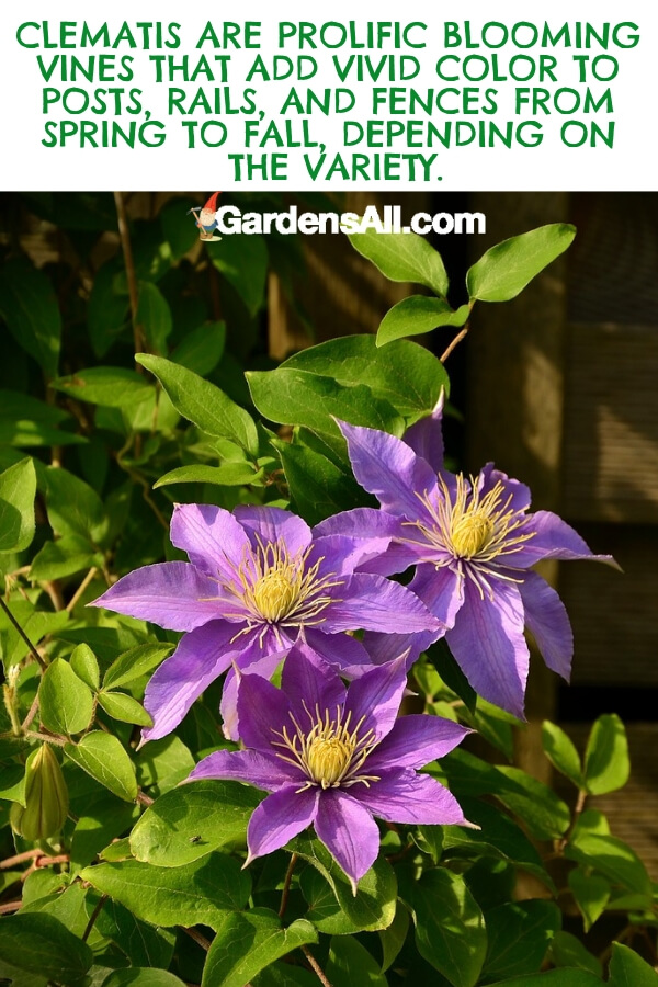 Beginner gardeners often try their hand at growing clematis at the advice of their more seasoned counterparts. This climbing vine grows from spring through fall in cool and moderate climates. #flower #flowergarden #Porches #Landscapes #CountryLiving #CurbAppeal #Simple #Perennials #Shade #Ideas #Planters #Small #Entrance #Walkways #ColorCombos #DIY #Spring #Balconies #OrnamentalGrasses #Backyards #Outdoors #Shrubs #Tips #Spaces #Hydrangeas