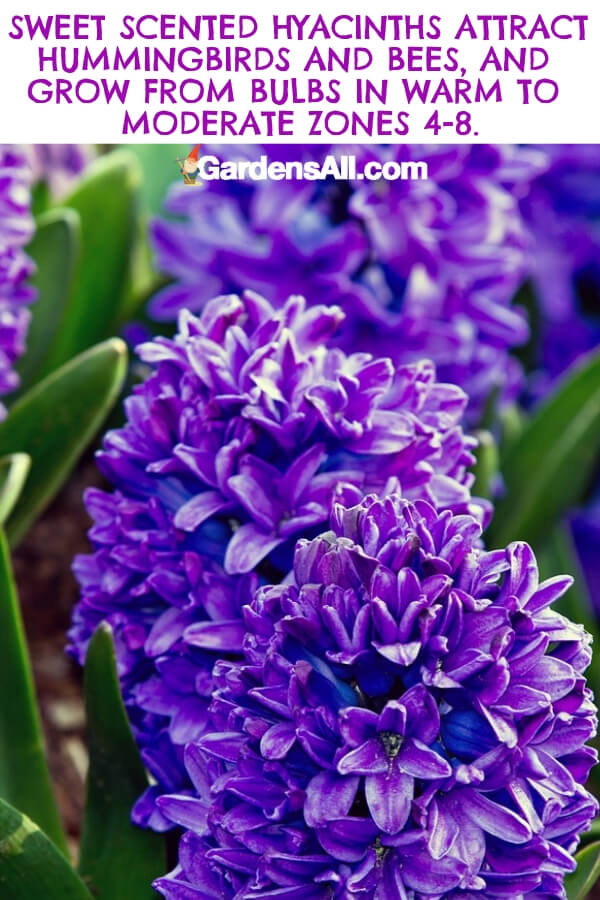 The hyacinth is a pretty purple flower that adds sweet fragrance to your bouquet. They grow from bulbs and make their appearance from spring in warmer climates in zones 4 - 8. #flower #flowergarden #Porches #Landscapes #CountryLiving #CurbAppeal #Simple #Perennials #Shade #Ideas #Planters #Small #Entrance #Walkways #ColorCombos #DIY #Spring #Balconies #OrnamentalGrasses #Backyards #Outdoors #Shrubs #Tips #Spaces #Hydrangeas