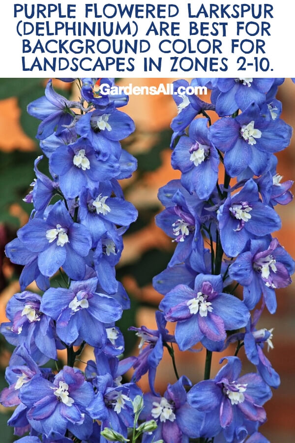 The larkspur is a tall purple cutting flower that gardeners use to build height at the back garden border in zones 2 - 10. They can grow as tall as 4 foot tall in cooler climates or 6 foot tall in warmer climates, where they thrive due to the longer growing season. #flower #flowergarden #Porches #Landscapes #CountryLiving #CurbAppeal #Simple #Perennials #Shade #Ideas #Planters #Small #Entrance #Walkways #ColorCombos #DIY #Spring #Balconies #OrnamentalGrasses #Backyards #Outdoors #Shrubs #Tips #Spaces #Hydrangeas