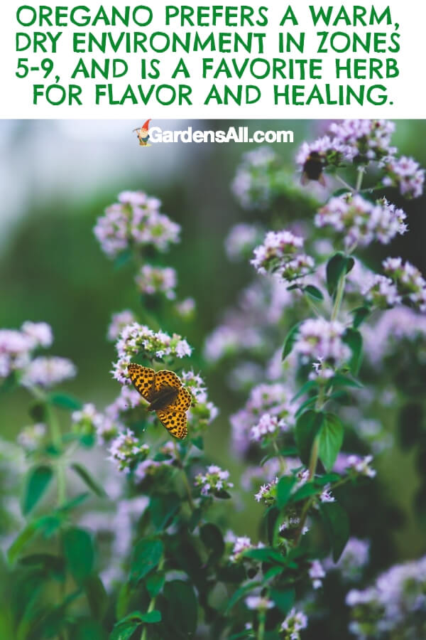 Oregano is a perennial herb prized in Mediterranean kitchens. In the US, you can grow it in zones 5 - 9. #flower #flowergarden #Porches #Landscapes #CountryLiving #CurbAppeal #Simple #Perennials #Shade #Ideas #Planters #Small #Entrance #Walkways #ColorCombos #DIY #Spring #Balconies #OrnamentalGrasses #Backyards #Outdoors #Shrubs #Tips #Spaces #Hydrangeas