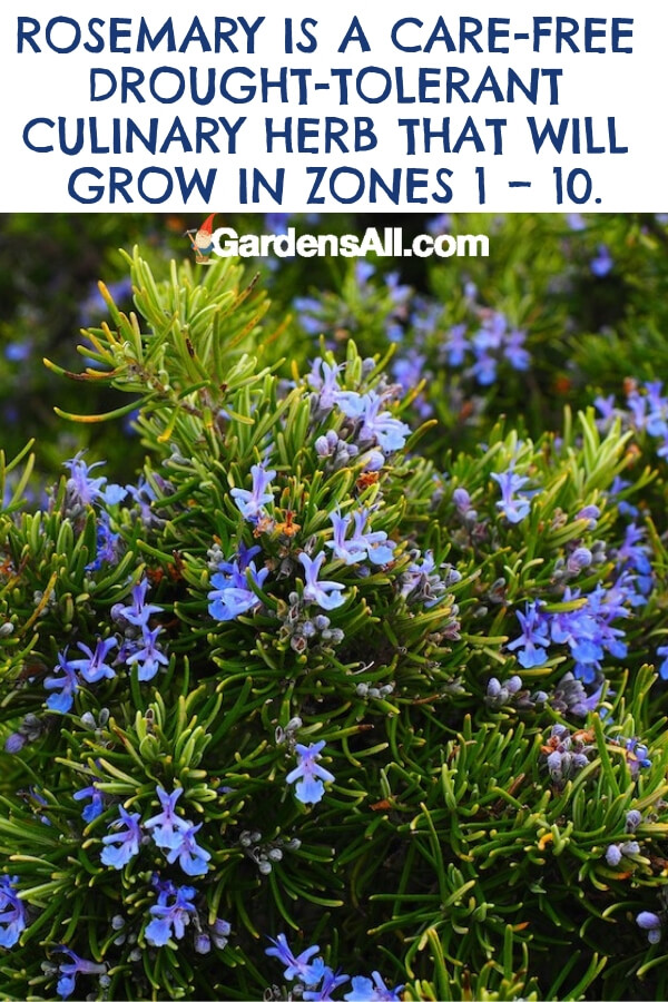 Rosemary is a perennial herb with woody, evergreen needles and has an incredible fragrance. #flower #flowergarden #Porches #Landscapes #CountryLiving #CurbAppeal #Simple #Perennials #Shade #Ideas #Planters #Small #Entrance #Walkways #ColorCombos #DIY #Spring #Balconies #OrnamentalGrasses #Backyards #Outdoors #Shrubs #Tips #Spaces #Hydrangeas