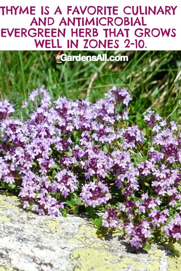 While the culinary use of thyme is well-documented, natural healers have traditionally used it for wound healing due to its antimicrobial properties. #flower #flowergarden #Porches #Landscapes #CountryLiving #CurbAppeal #Simple #Perennials #Shade #Ideas #Planters #Small #Entrance #Walkways #ColorCombos #DIY #Spring #Balconies #OrnamentalGrasses #Backyards #Outdoors #Shrubs #Tips #Spaces #Hydrangeas