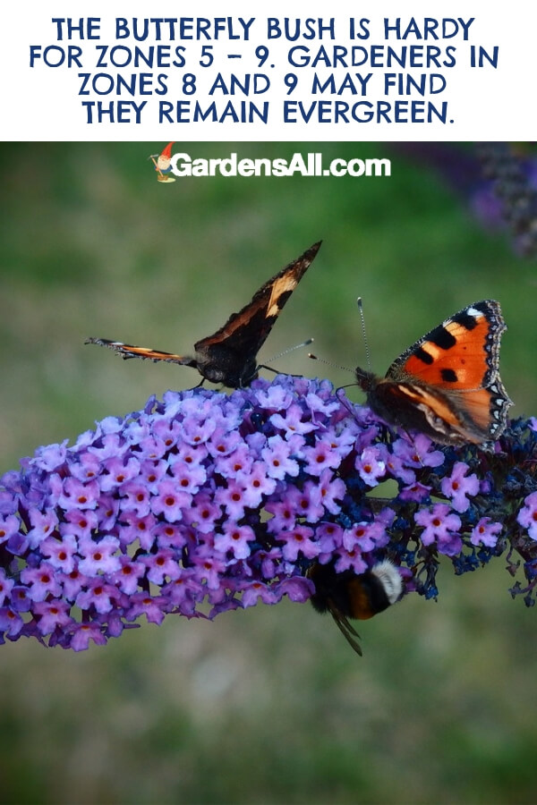 Despite its name, the Butterfly Bush is more closely related to milkweed than shrubbery. It's a perennial plant that thrives in adry and sandy soil. #flower #flowergarden #Porches #Landscapes #CountryLiving #CurbAppeal #Simple #Perennials #Shade #Ideas #Planters #Small #Entrance #Walkways #ColorCombos #DIY #Spring #Balconies #OrnamentalGrasses #Backyards #Outdoors #Shrubs #Tips #Spaces #Hydrangeas