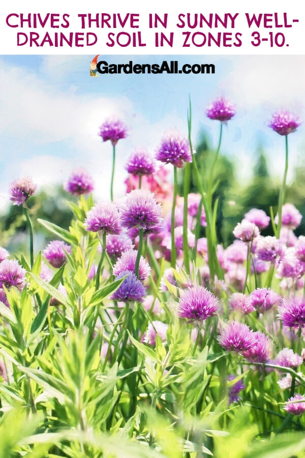 Chives don't love drought conditions. However, keep them watered and you'll enjoy their yummy onion flavor from late spring into the fall. #flower #flowergarden #Porches #Landscapes #CountryLiving #CurbAppeal #Simple #Perennials #Shade #Ideas #Planters #Small #Entrance #Walkways #ColorCombos #DIY #Spring #Balconies #OrnamentalGrasses #Backyards #Outdoors #Shrubs #Tips #Spaces #Hydrangeas