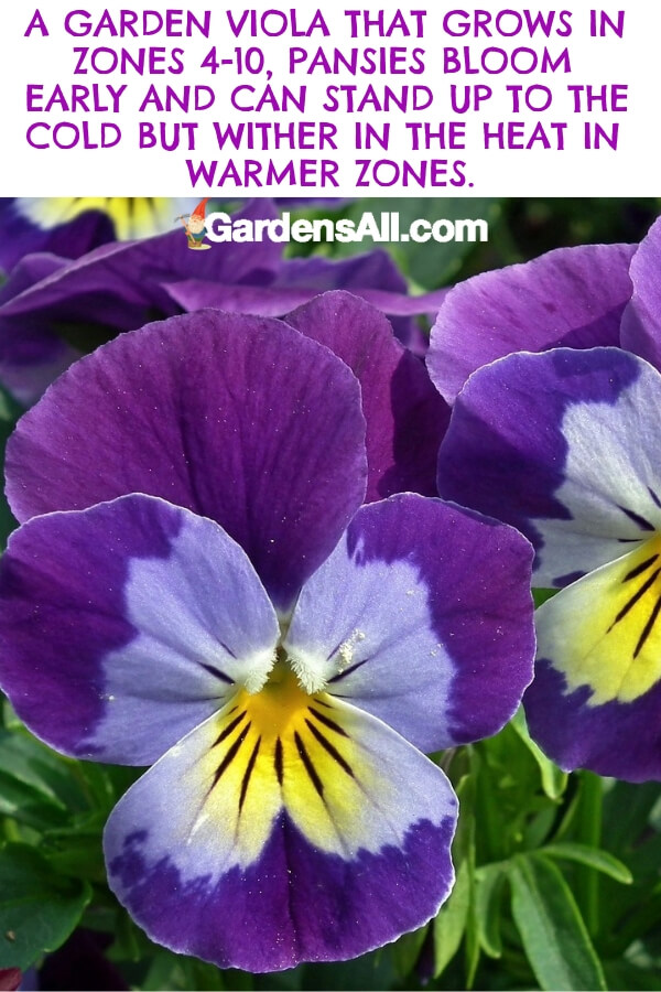 The pansy is a wildly popular variation of the garden viola that flourishes in zones 4 - 10. Prized for their sunny yellow and purple flowers that cheer up gardens in cool climates, the pansy loves full to partial sun. However, it quickly withers in intense heat. #flower #flowergarden #Porches #Landscapes #CountryLiving #CurbAppeal #Simple #Perennials #Shade #Ideas #Planters #Small #Entrance #Walkways #ColorCombos #DIY #Spring #Balconies #OrnamentalGrasses #Backyards #Outdoors #Shrubs #Tips #Spaces #Hydrangeas