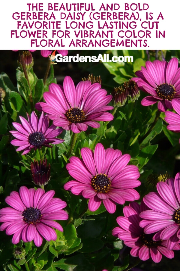 In addition to purple, gerbera daisies come in white, pink, red, and yellow. The purple daisy has a range from a white purple to a lush, rich shade of purple. #flower #flowergarden #Porches #Landscapes #CountryLiving #CurbAppeal #Simple #Perennials #Shade #Ideas #Planters #Small #Entrance #Walkways #ColorCombos #DIY #Spring #Balconies #OrnamentalGrasses #Backyards #Outdoors #Shrubs #Tips #Spaces #Hydrangeas