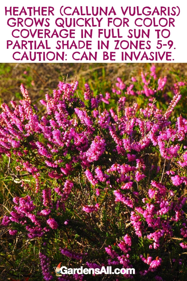 The vivid light purple flowers can also appear more on the pink side of the spectrum and grow in tight plume-like groupings. Heather might also be mauve or white in color. #flower #flowergarden #Porches #Landscapes #CountryLiving #CurbAppeal #Simple #Perennials #Shade #Ideas #Planters #Small #Entrance #Walkways #ColorCombos #DIY #Spring #Balconies #OrnamentalGrasses #Backyards #Outdoors #Shrubs #Tips #Spaces #Hydrangeas