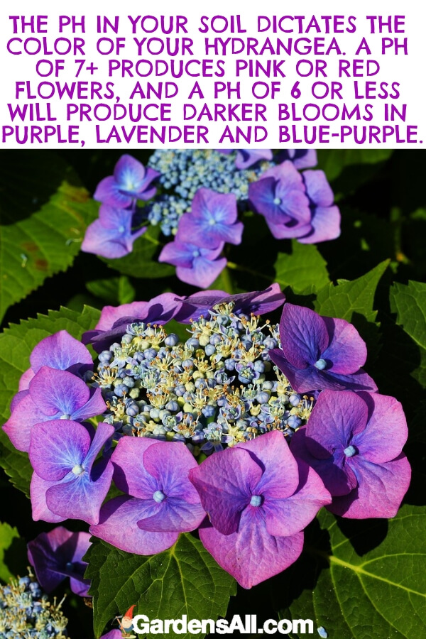 Gardeners love the surprise of a hydrangea because it's hard to know for certain what color you'll get without knowing the acidity of your soil. #flower #flowergarden #Porches #Landscapes #CountryLiving #CurbAppeal #Simple #Perennials #Shade #Ideas #Planters #Small #Entrance #Walkways #ColorCombos #DIY #Spring #Balconies #OrnamentalGrasses #Backyards #Outdoors #Shrubs #Tips #Spaces #Hydrangeas