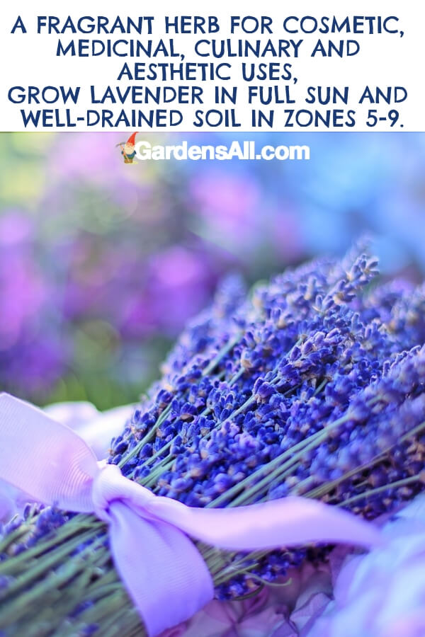 Lavender is a fragrant edible that is often used in French cuisine. You probably know them best for their bluish-purple flowers and softly alluring aroma. #flower #flowergarden #Porches #Landscapes #CountryLiving #CurbAppeal #Simple #Perennials #Shade #Ideas #Planters #Small #Entrance #Walkways #ColorCombos #DIY #Spring #Balconies #OrnamentalGrasses #Backyards #Outdoors #Shrubs #Tips #Spaces #Hydrangeas