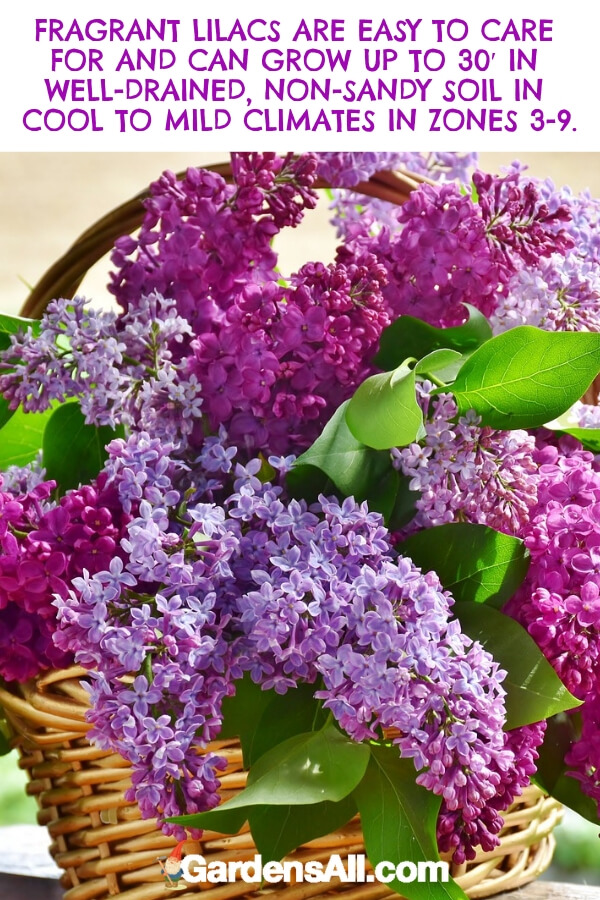 Lilacs are technically a tree that can grow up to 30 feet tall. However, most gardeners prune them into more manageable shrubs to create a focal point in a natural area or garden. #flower #flowergarden #Porches #Landscapes #CountryLiving #CurbAppeal #Simple #Perennials #Shade #Ideas #Planters #Small #Entrance #Walkways #ColorCombos #DIY #Spring #Balconies #OrnamentalGrasses #Backyards #Outdoors #Shrubs #Tips #Spaces #Hydrangeas