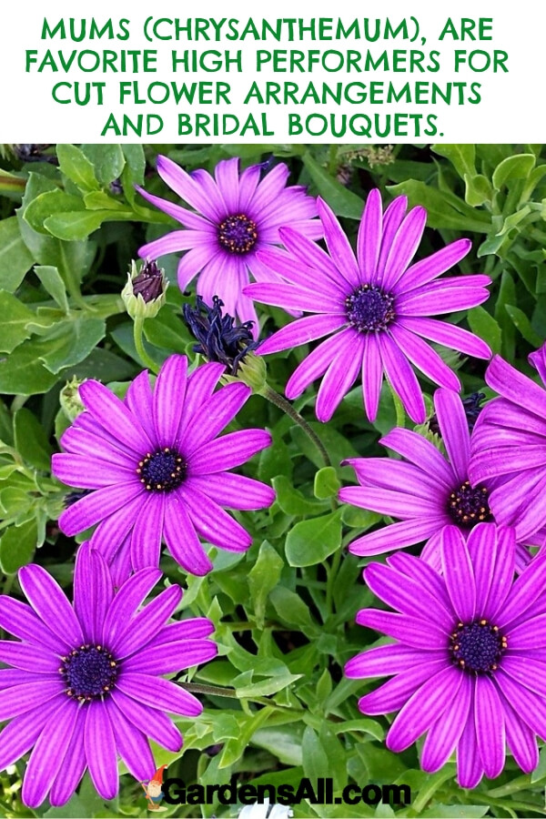 A popular variation of chrysanthemums has an appearance more like a purple daisy and is often tucked into autumn bridal bouquets. #flower #flowergarden #Porches #Landscapes #CountryLiving #CurbAppeal #Simple #Perennials #Shade #Ideas #Planters #Small #Entrance #Walkways #ColorCombos #DIY #Spring #Balconies #OrnamentalGrasses #Backyards #Outdoors #Shrubs #Tips #Spaces #Hydrangeas