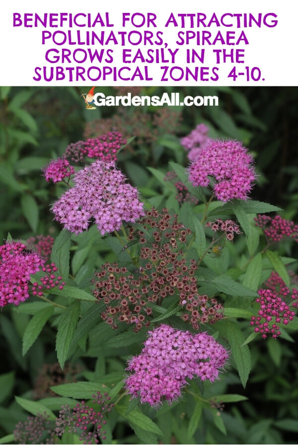 The spiraea is a robust shrub that produces red-purple flowers that growers often describe as a light violet. Other varieties are white and pink. Expect profuse blooms all summer long. #flower #flowergarden #Porches #Landscapes #CountryLiving #CurbAppeal #Simple #Perennials #Shade #Ideas #Planters #Small #Entrance #Walkways #ColorCombos #DIY #Spring #Balconies #OrnamentalGrasses #Backyards #Outdoors #Shrubs #Tips #Spaces #Hydrangeas