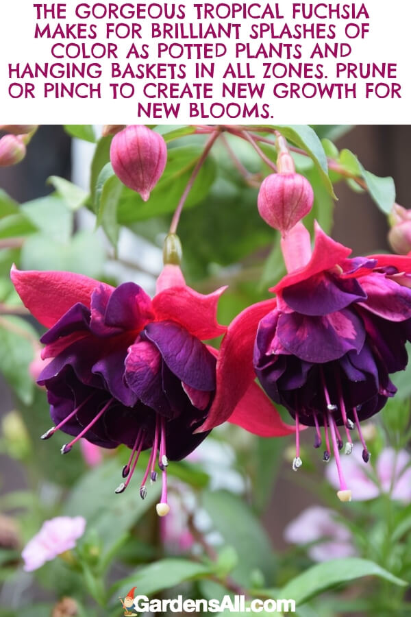The fuchsia gives us gorgeous two-toned flowers. The delicate outer petals are pink or red but open to reveal a purple center. The contrast between the layers is breathtaking. #flower #flowergarden #Porches #Landscapes #CountryLiving #CurbAppeal #Simple #Perennials #Shade #Ideas #Planters #Small #Entrance #Walkways #ColorCombos #DIY #Spring #Balconies #OrnamentalGrasses #Backyards #Outdoors #Shrubs #Tips #Spaces #Hydrangeas