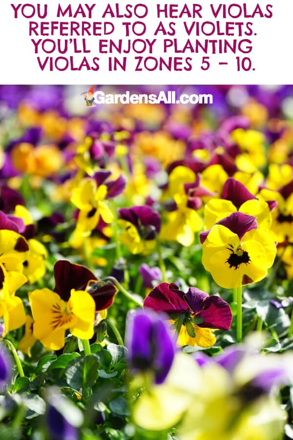 Once planted, violets will open to reveal petals with a delicate, scallop shape. They love the warmth of the sun but do best in partial sun, especially in hotter climates. #flower #flowergarden #Porches #Landscapes #CountryLiving #CurbAppeal #Simple #Perennials #Shade #Ideas #Planters #Small #Entrance #Walkways #ColorCombos #DIY #Spring #Balconies #OrnamentalGrasses #Backyards #Outdoors #Shrubs #Tips #Spaces #Hydrangeas