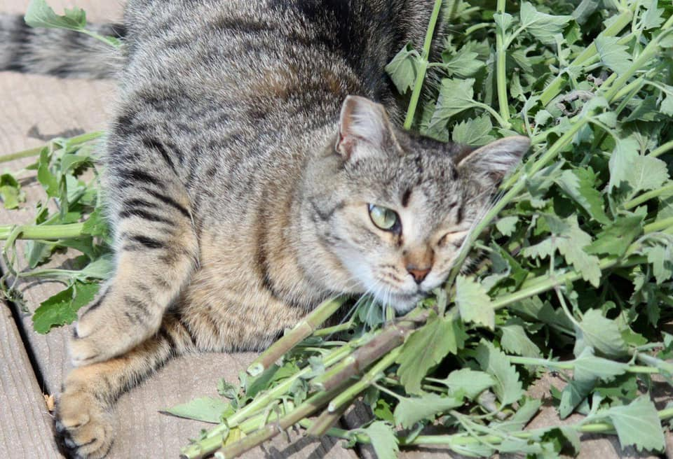 Catnip for cats, catnip for people